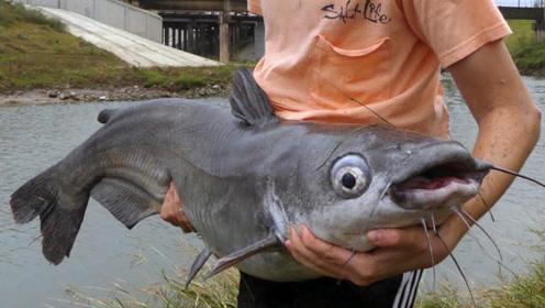 生命力最强大的鱼,在下水道繁殖,老外抓到就放生,没人敢吃