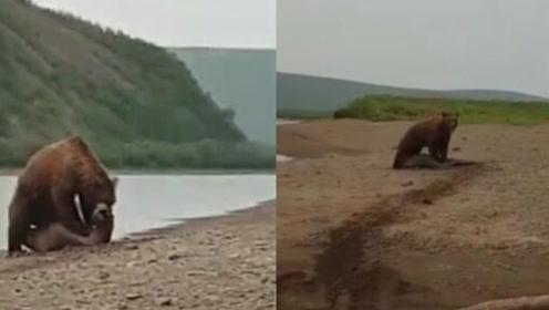 海豹被棕熊袭击命在旦夕 路过渔民帮忙吓跑棕熊