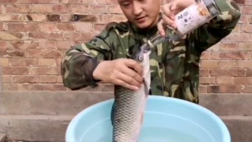 3斤多重的野生大草鱼,一次性喝完500毫升的白酒却没事 太能喝了
