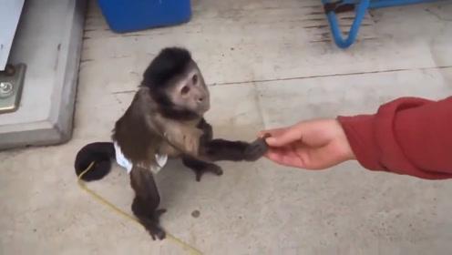 这是我见过最聪明的猴子了,会找主人要钱买饮料喝,还会找零钱