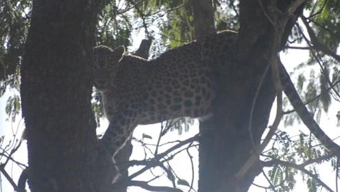 花豹刚从基地放出来,结果遇到黑熊,豹:得亏我会爬树!