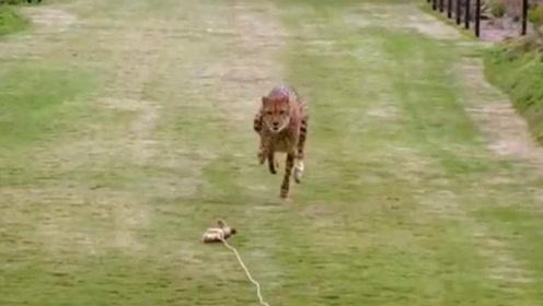 猎豹到底能有多快?看完这场比赛你就知道了,速度之王当之无愧!