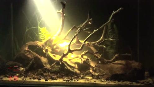 原生鱼缸景观,一个射灯就搞定,为鱼缸准备的木头太漂亮了