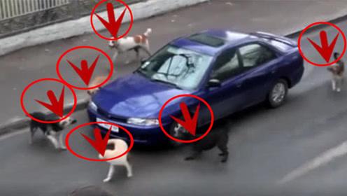 惊险!轿车司机被一群狗狗包围,网友:司机你怎么惹的事?