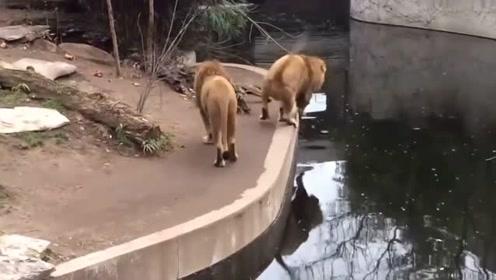 狮子走路不看地面,一脚踩空掉水里,这么多人看着,真丢脸