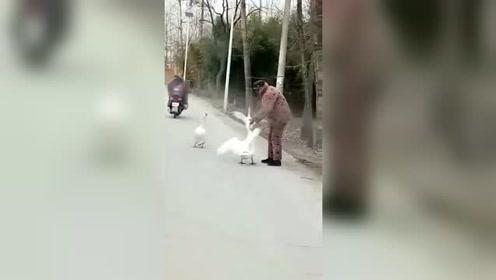 这大鹅和老爷子都挺犟啊!哈哈