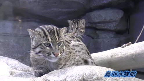 动物园里的山猫吃鱼鱼,游客全程观望,抓鱼本领太强