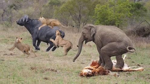 路见不平一声吼,大象吓退猎杀野牛的狮群,野牛则趁着空挡溜了