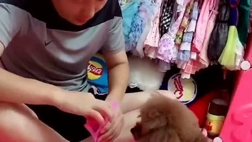 女主人不给泰迪吃鸡腿,泰迪居然去找舅舅帮忙,这狗太精啦!