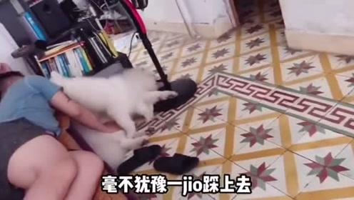 小奶狗踩着萨摩妈妈身体,上沙发,真的是想挨打了