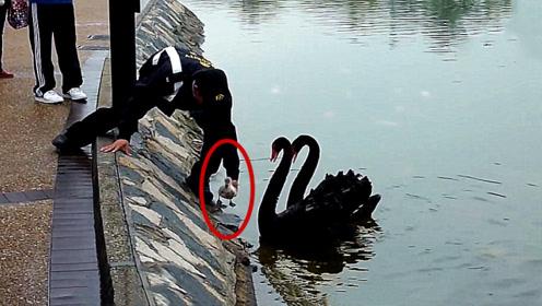 小天鹅跑到岸上不肯下来,游客帮忙放回水里后,天鹅的反应感动众人!