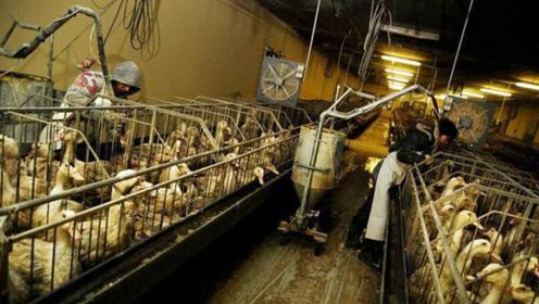 顶级鹅肝到底是怎么制作出来的?看完生产过程,众人都不淡定了