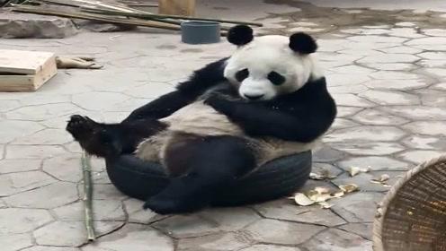 史上混的最差的大熊猫,掉点馒头渣还得舔干净,日子不好过!