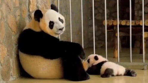 自从生了娃,熊猫妈妈就变成了这种表情,真的太搞笑了