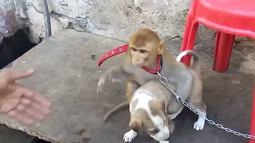 小猴子和狗狗之间的友谊,死死抱住不愿放手