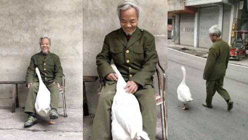 人鹅情未了!公鹅被大爷当宠物养,爱撒娇求抱抱,天天要逛街