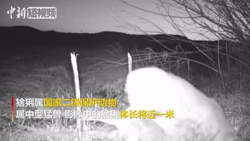 """""""中国最北湿地""""首次拍摄到猞猁捕食狍子画面"""