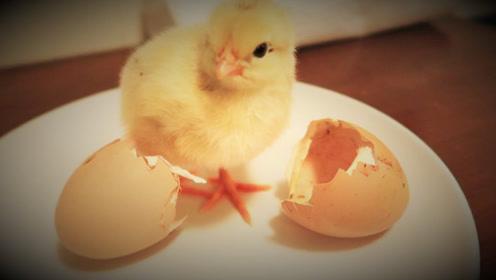 世界上是先有鸡还是先有蛋?科学家终于找到答案,赶紧来看看吧!