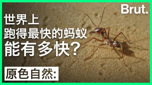 世界上跑得最快的蚂蚁,能有多快?