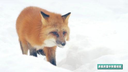 雪地猎手养成记之赤狐13米外捕鼠绝技!小赤狐雪地狩猎靠耳力!