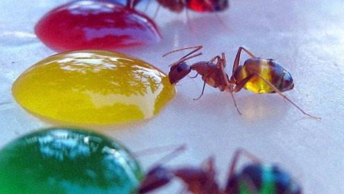 五彩蚂蚁?老外用糖水给蚂蚁换造型,只怪它太爱甜食