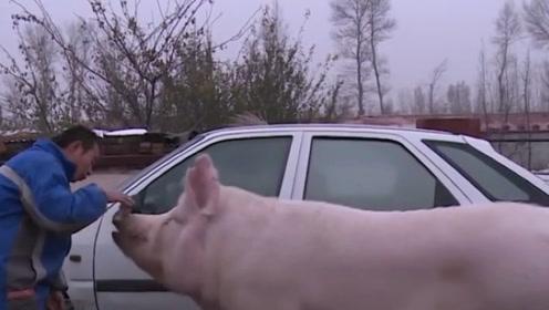 老人捡到一头猪,养了13年舍不得吃,孙子看到后却极力反对!