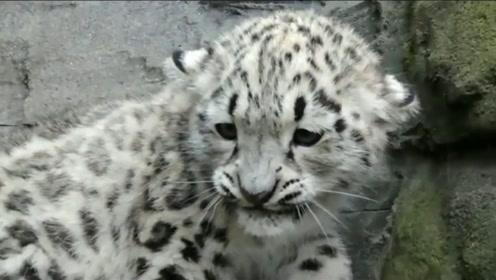 千万不要吓雪豹,不然会被笑死的,太有趣了