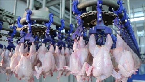 实拍自动化生产鸡肉流水线,每小时加工15000只鸡!