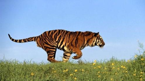 非洲大草原为啥没有老虎?看看专家怎么说