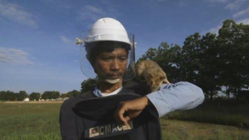 这种老鼠会冒着生命危险,保护人类的安全,看完不可思议