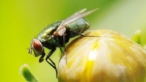 苍蝇究竟是益虫还是害虫?看看它对地球的贡献,竟比人类还大!