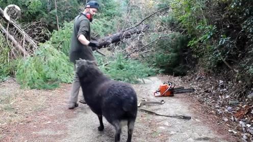 主人砍伐木材,守护家园的公羊生气了,直接撞过来!