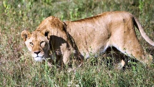 非洲大草原上两大巨头对峙,大战一触即发,场面惊心动魄