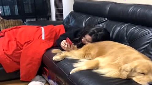 狗狗给主人当枕头,百威乖巧的样子真讨人喜欢,懂事的汪星人!