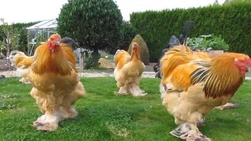 """全世界""""最大""""的鸡,高达1.2米,公鸡中的战斗鸡"""