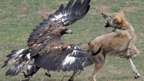 金雕战斗力有多强?实拍金雕杀100多斤野狼,镜头拍下激烈过程!