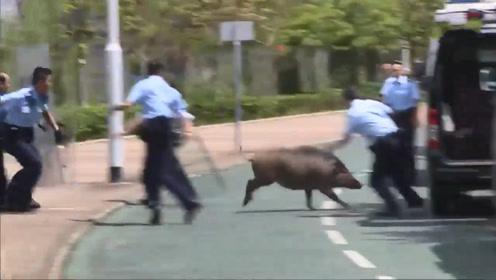 野猪突然冲上马路,一群警察合力围堵,场面一片混乱