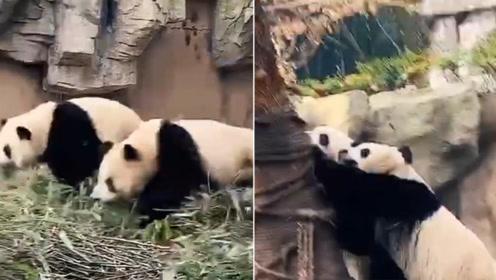 四川绵阳4.6级地震 熊猫扔下竹子瞬间上树展现超强求生欲