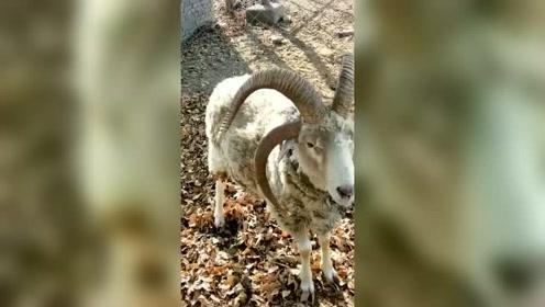 """族群中的领头羊,羊角天生就这样,谁知道这是什么""""神兽""""?"""