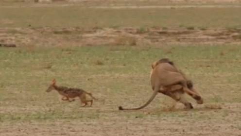 雄狮正在休息,大胆胡狼竟然上前咬一口就跑,太刺激了吧
