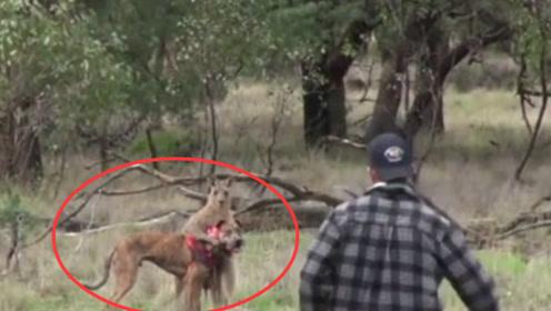 狗狗被袋鼠欺负,狗主人上去一拳把袋鼠打懵,镜头拍下精彩全程