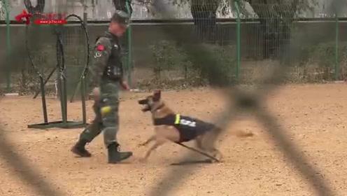 """训导员训练新犬被发现 老犬""""吃醋""""狂叫发脾气"""