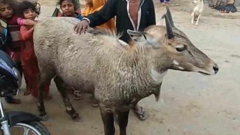"""印度特有的""""蓝色牛"""",因为肉太难吃,狮子老虎都不捕食"""