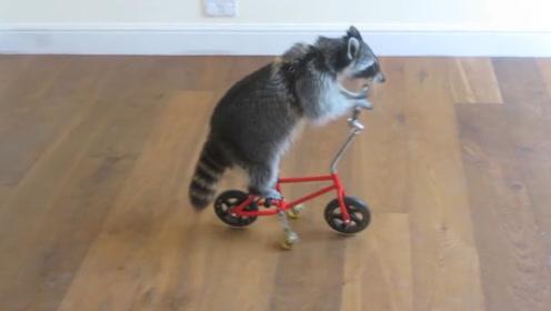 英国小浣熊会100种人类技能,不仅会骑单车,还能哄小孩儿睡觉