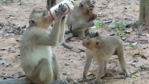 猴子连喝啤酒,最后因喝太多起不来,酒后的反映让人哭笑不得