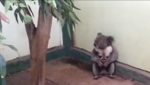 一只考拉打架打输了,坐在地上哇哇大哭,让人心疼又好笑