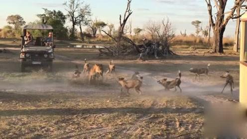 大批鬃狗团团包围 狮妈跳出保护孩子:1个打10个 你快逃!
