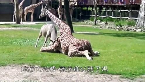 长颈鹿被羚羊撞到在地,硬是没起来,长颈鹿:整个鹿都不好了!