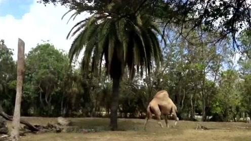 """野外惊现""""无头骆驼"""",游客当场傻眼,下一秒憋住别笑!"""