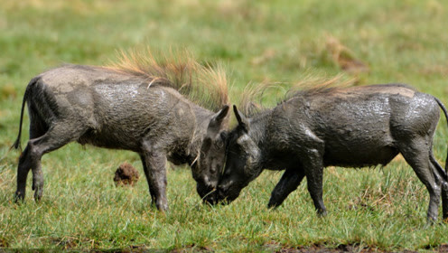 主人好奇心太强把家猪和野猪放在一起,没想到出现了搞笑的一幕